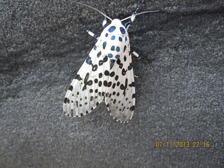 a black and white dots butterfly, pets animals