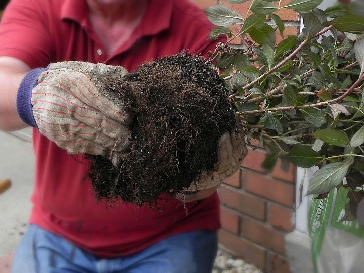 Break up the root ball and plant!  http://www.madincrafts.com/2013/07/planting-wine-and-roses-weigela.html