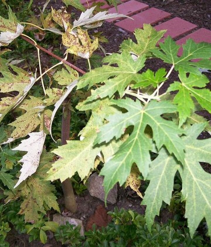 Green leaves at end, diseased leaves near trunk.