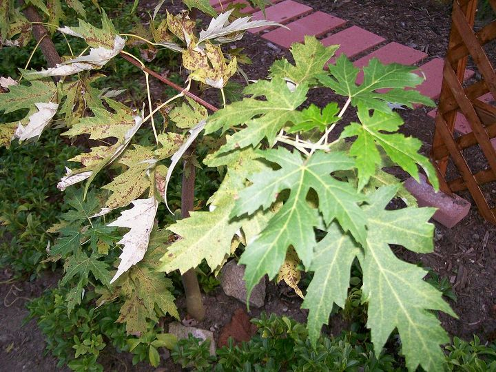 Green leaves at end, diseased leaves near trunk.