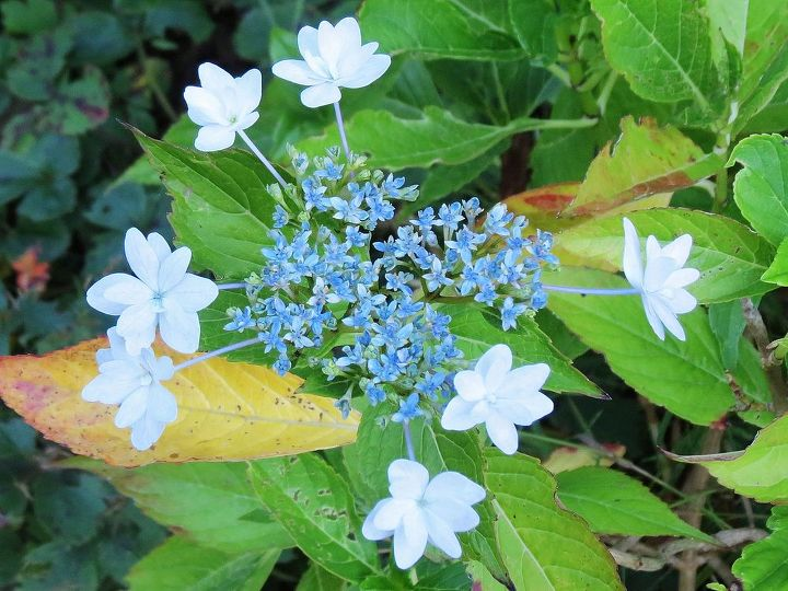 Shooting Star Hydrangea was pretty but became a snack for the deer.