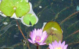 waterlilies, ponds water features, Meet Tina
