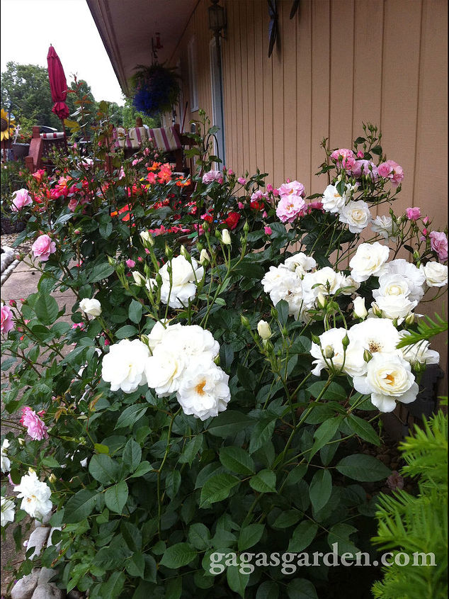 """Floribunda Rose Garden view from the North with Iceberg featured for its hardiness and beauty at night as a white rose to """"frame"""" the garden. #springgardening #roses #gardening #flowers #beauty"""
