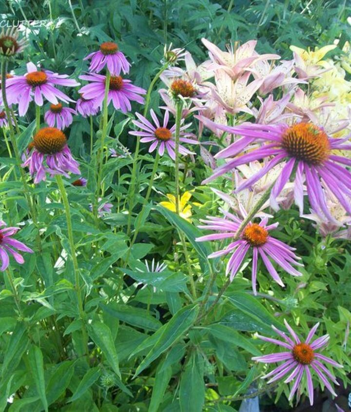 Favorite perennials:  Purple coneflowers.
