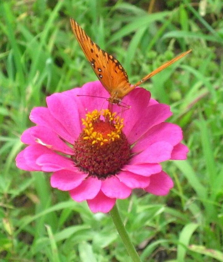 zinnia s and butterflies, flowers, gardening, pets animals