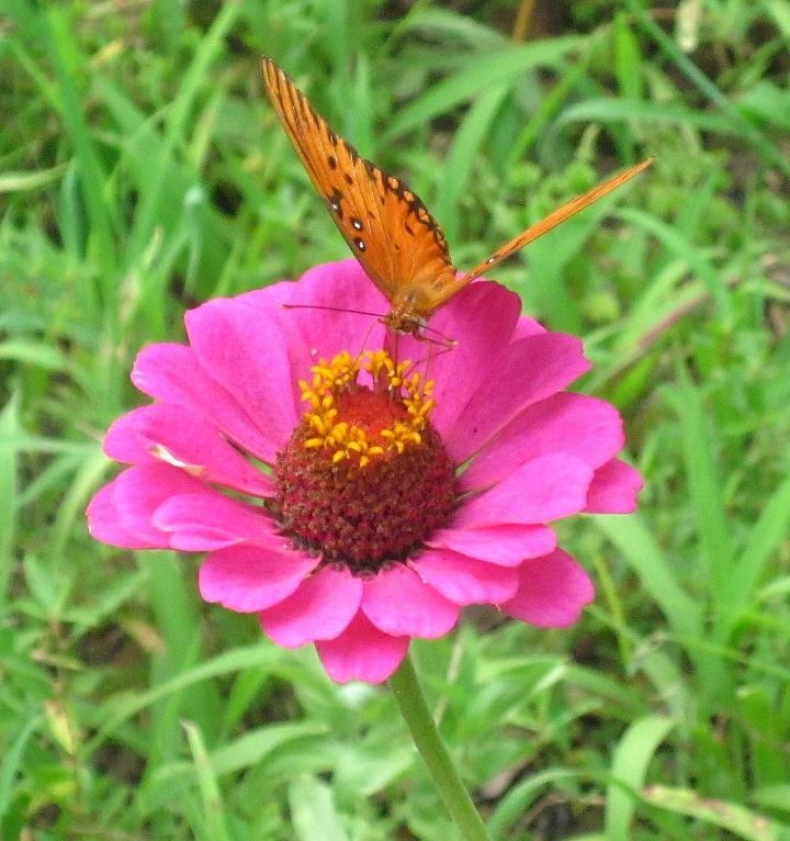 zinnia s and butterflies, flowers, gardening, pets animals