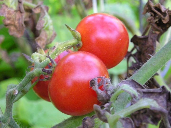 tomato ripening, gardening