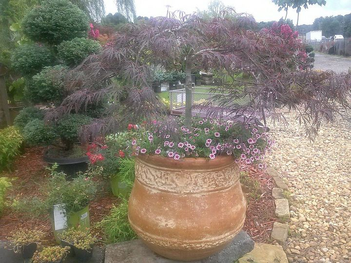 The top was broken out of this Japanese Maple so it was obviously meant to go in a pot under-planted with some million bells and variegated needlepoint ivy