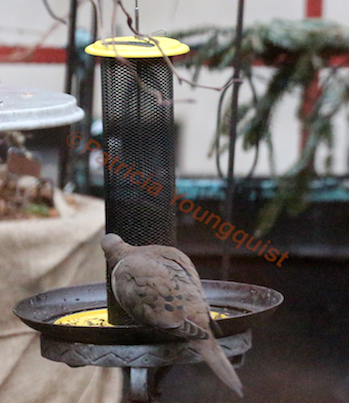A lone mourning dove noshes from the Yellow NIGER Feeder. INFO on Mourning Doves @ http://www.thelastleafgardener.com/search/label/Mourning%20Doves AS WELL AS @ http://thelastleafgardener.tumblr.com/search/Mourning+Doves