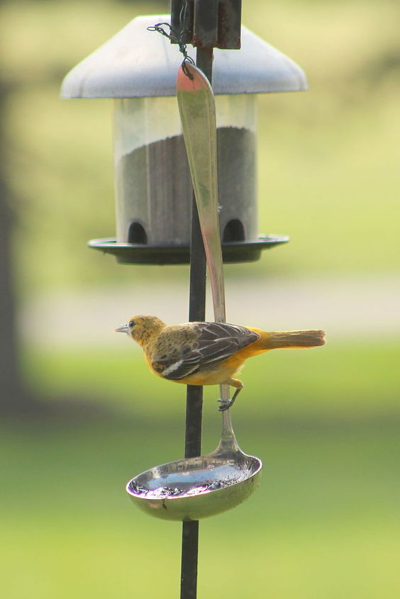 getting orioles in your yard is very simple, outdoor living, pets animals
