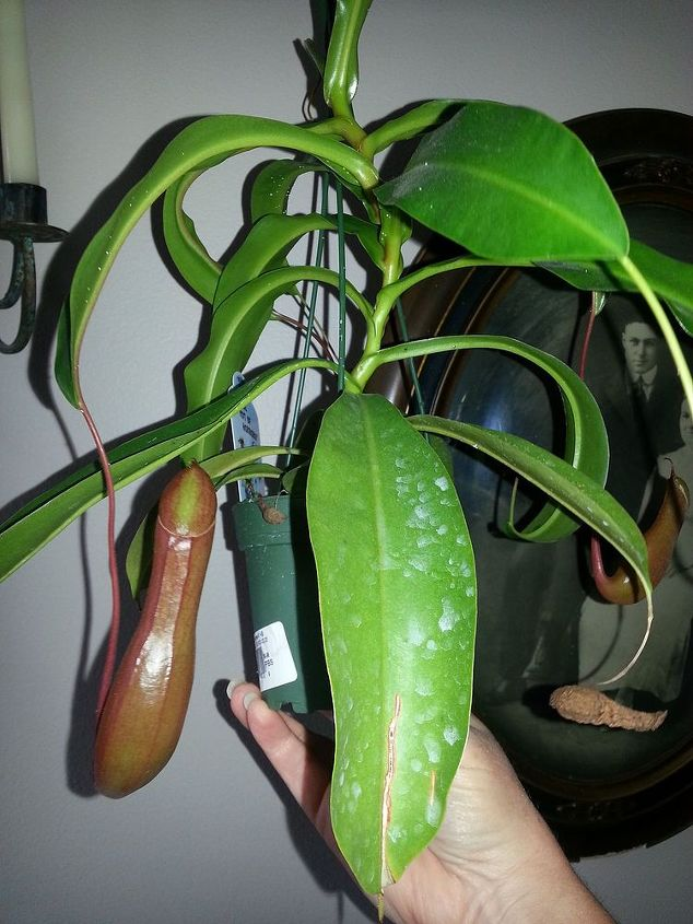 taking care of a tropical pitcher plant, gardening