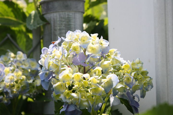 Their are many different types of Hydrangea's and to be extrememly truthful with you, I'm still trying to learn alot about them!