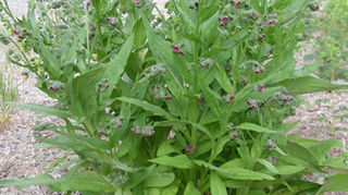 is this a weed or plant what is it please, flowers, gardening, Here is another picture I found that might compare to your pic