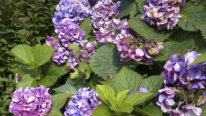Part shade and lots of water are desirable conditions for growing beautiful hydrangeas