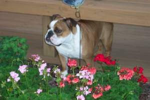 Our sweet Lucie Bella (RIP) guarding the flowers