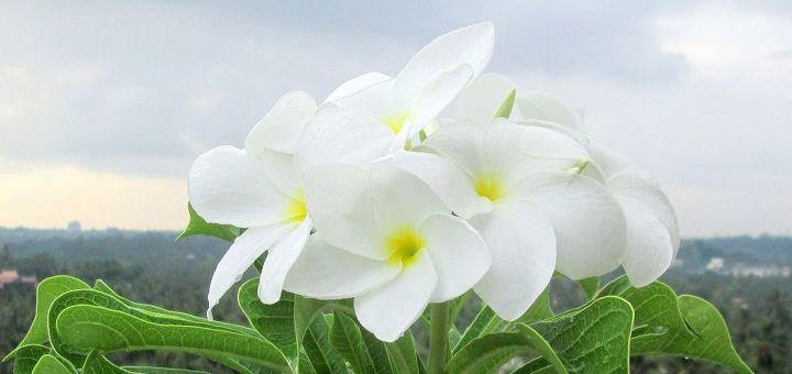 plumeria, gardening