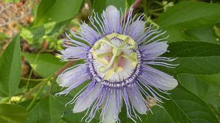 planting seeds, flowers, gardening, Found a Passion Flower in our ditch out front so dug it up and moved it to the back fence Sheeze it s really growing and growing and growing