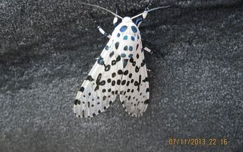a black and white dots butterfly, pets animals, back view of butterfly