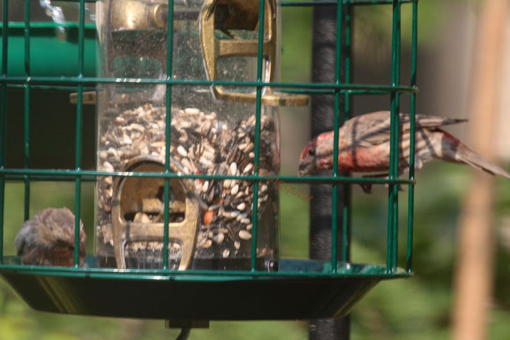 This image of a couple of house finches noshing at the enclosed feeder in my garden was featured in my 9-20-13 post on HT @ http://www.hometalk.com/2243447/catching-crumbs-that-fall-to-the-floor-followup-3-to-8-22-s-post