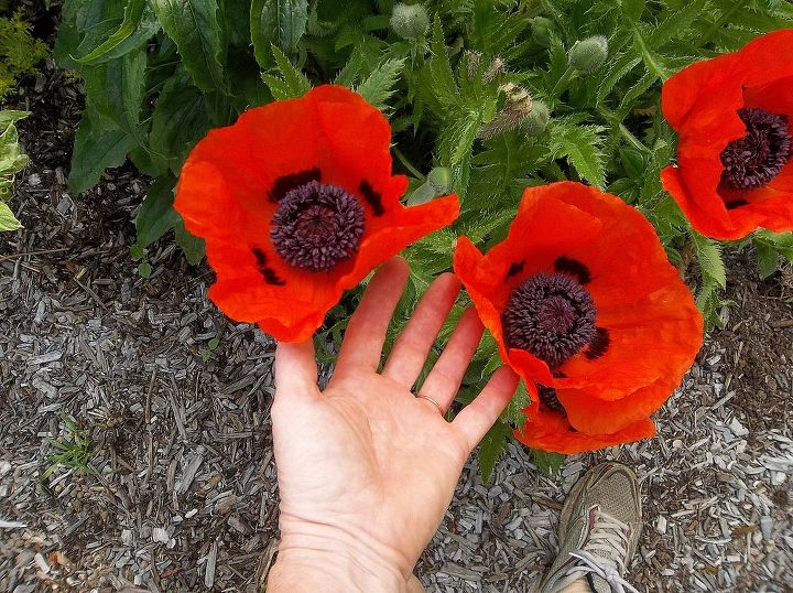 The poppies are getting bigger and better each year!