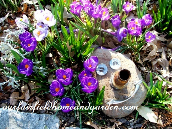 March crocus and my Rock Man