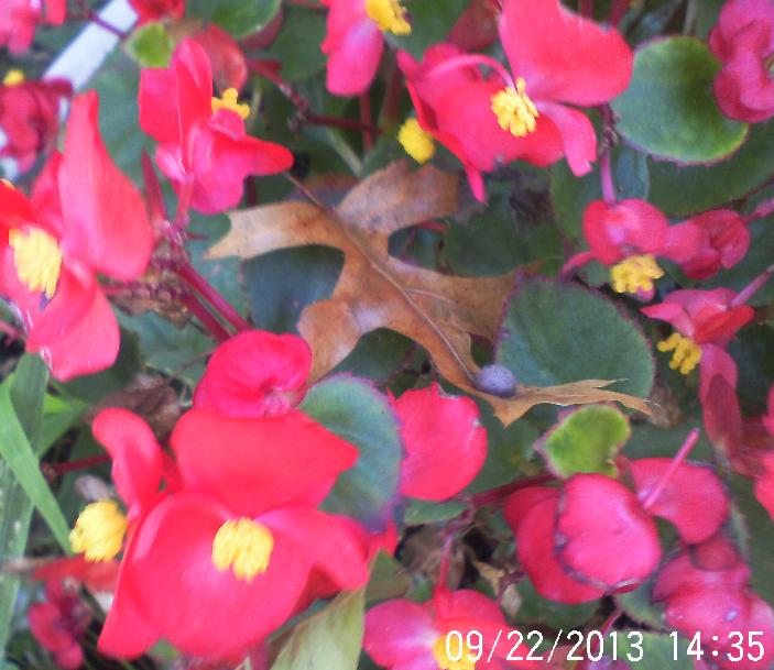 Leaves are falling , Begonia still pretty