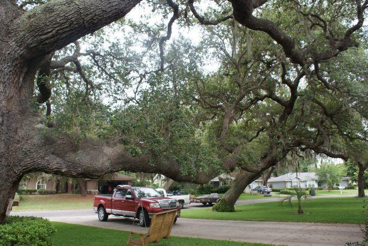 Great tree climbing live oak in Leesburg Florida.