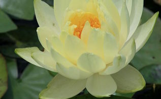 water lilies a great aquatic plant for your water garden, container gardening, gardening, ponds water features