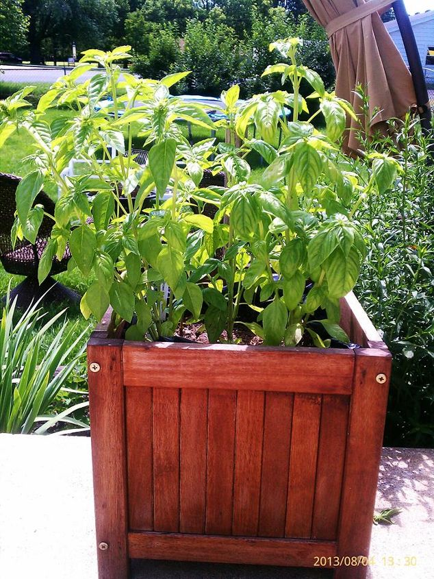 Basil w/ 2 brown chili peppers behind them. Today 8.4.13