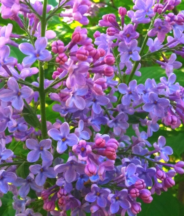 A favorite springtime flower that comes in several shades of purple and white.
