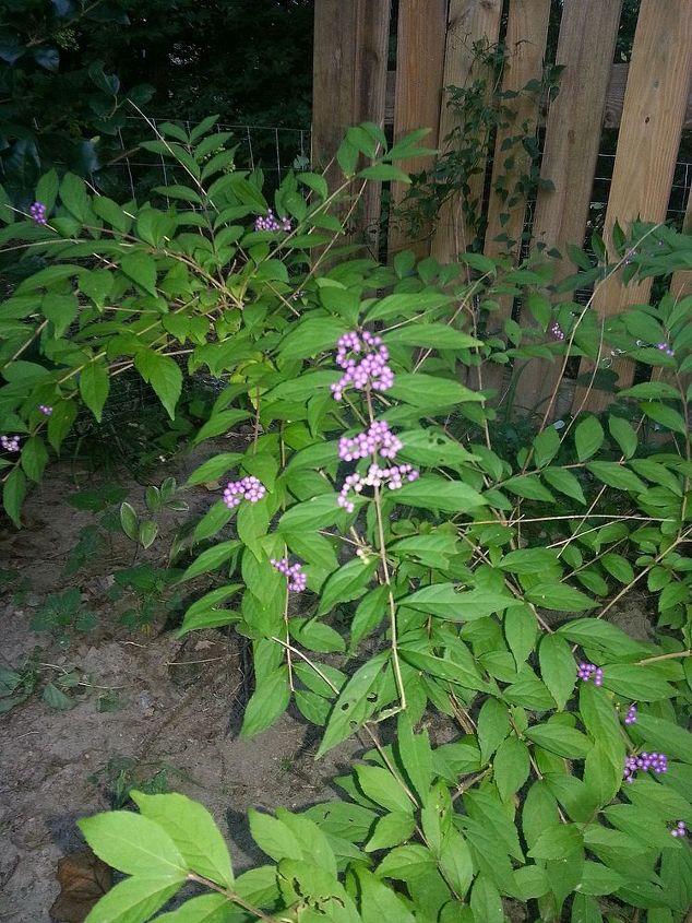 american virginia beautybush callicarpa americana, gardening