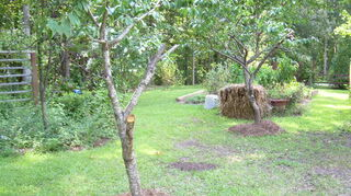 , And here are the two peach trees The limbs were all over the ground I would like the trees to be smaller but am worried about the big limb I cut off in the foreground Also did I cut in the right place Should they all be topped