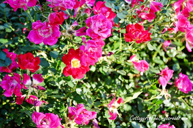 These Red Drift roses bloom red and fade to pink.