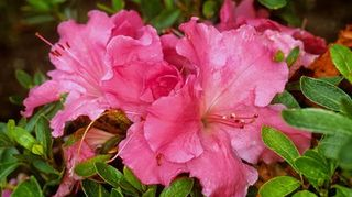 could you please help me identify this shrub, flowers, gardening, landscape, Gumpo Pink Azaleas