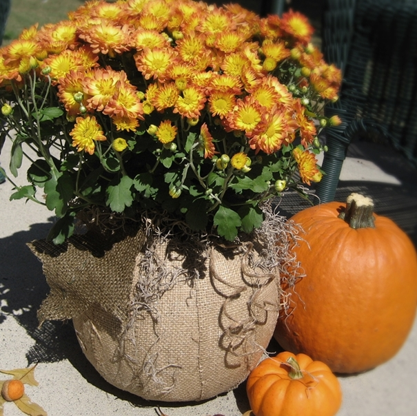 burlap d coupaged pumpkin planter, crafts, decoupage, flowers, gardening, repurposing upcycling, seasonal holiday decor, D coupage a plastic trick or treat pumpkin with burlap to create a fall planter
