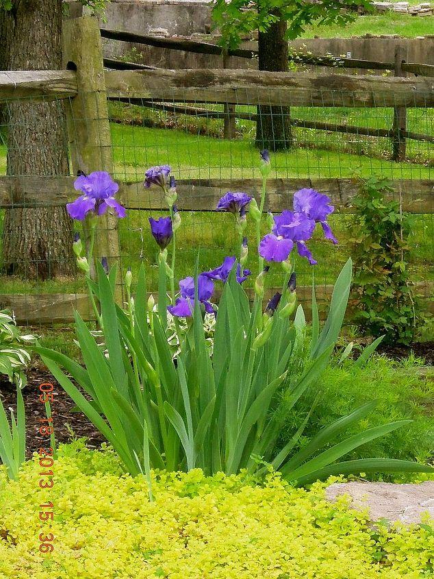 Bearded Iris starting to bloom