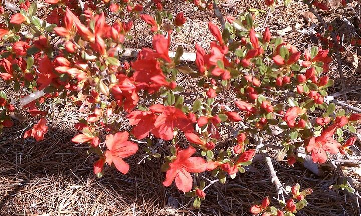 q anyone know what these plants are found them in our wooded area the shrub flowers, flowers, gardening, This is a small shrub about 3 4 feet tall The leaves are small oval shape Is this some kind of azalea