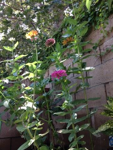 blog from a gardening newbie, flowers, gardening, Zinnia