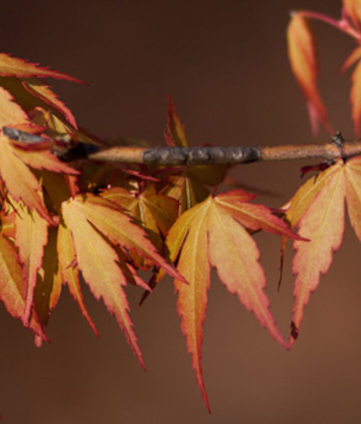 The great leaf colors of Katsura Japanese Maple.