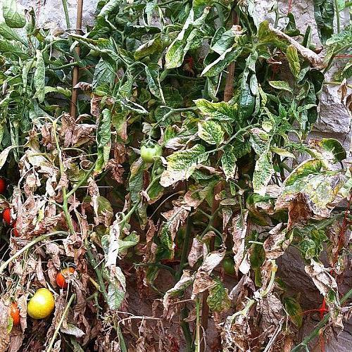 q tomatoes dry leaves, gardening
