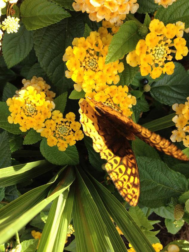 Butterflies Flutter Among Lantana All Season