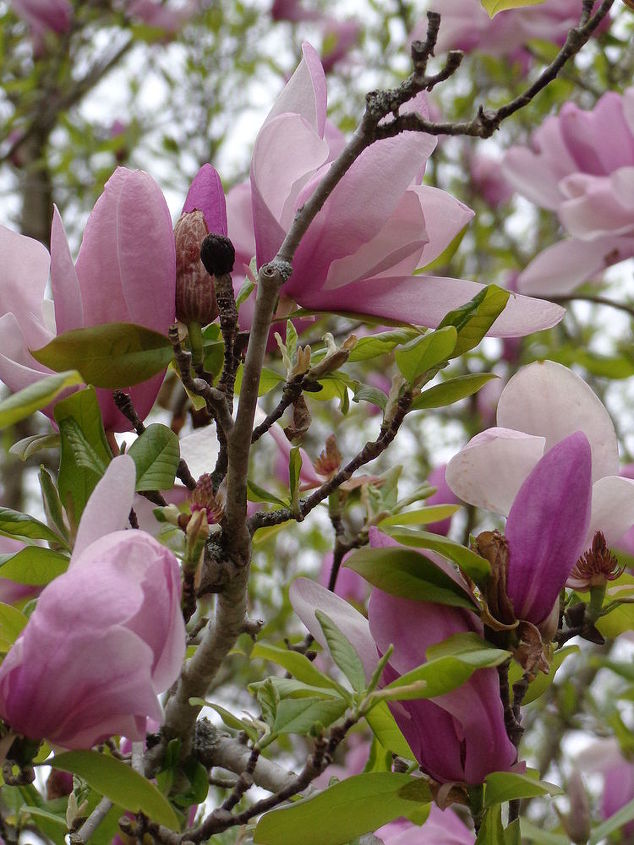 Pink Flowering Tree Hometalk