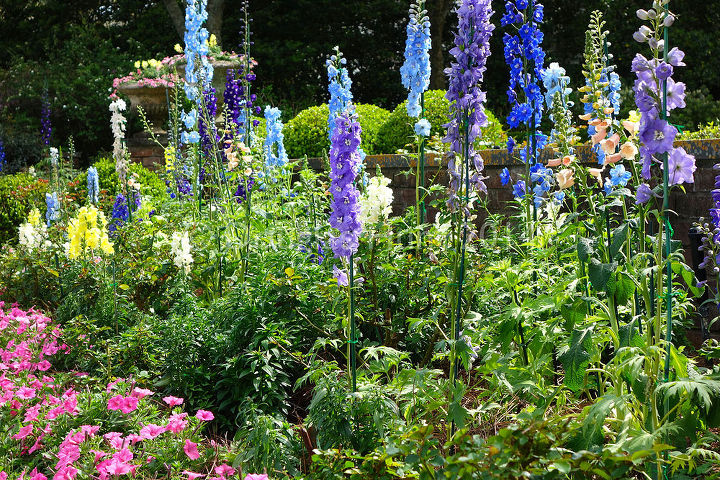 Florida or England? Delphiniums planted en masse as annuals.