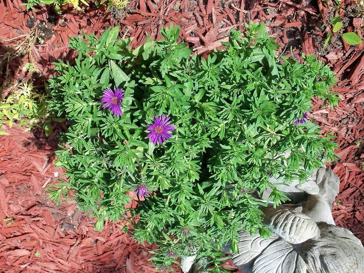 can you identify this plant, flowers, gardening, the flowers are small about the size of a nickel or a quarter