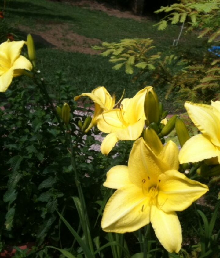 Yellow Amarillus from My Father in Laws Yard...