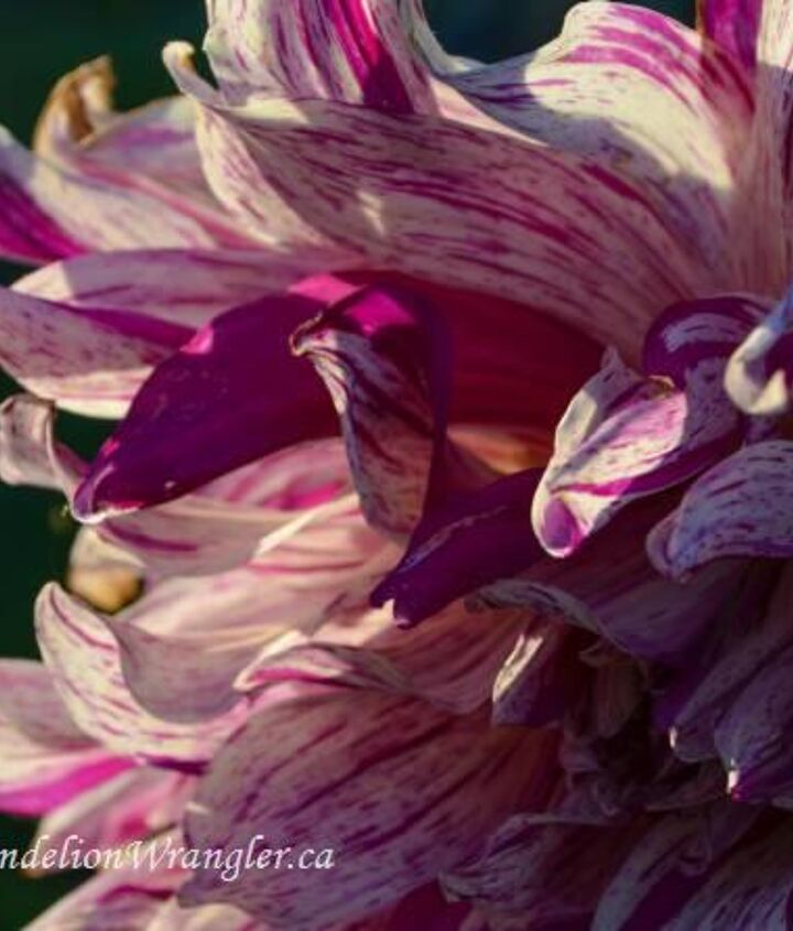 And this is why I'm going to start growing dahlias again. Stunning show of petals.