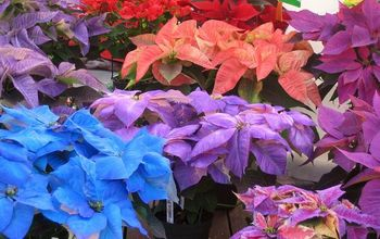 Sweet Painted Poinsettias