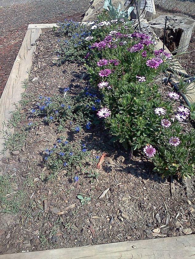 osteospurmum, gardening