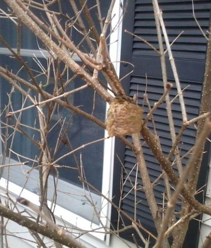 Mantis Nest in Forsythia