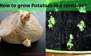 how to grow potatoes in a container, container gardening, gardening